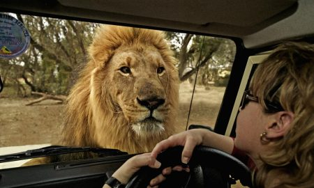 African lion (Panthera leo) looking through the a window of tourist's vehicle. South Africa. Distribution Sub-Saharan Africa